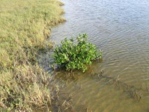 white mangrove.JPG